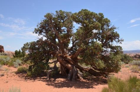 I love cool looking trees - I think it is a Juniper Tree